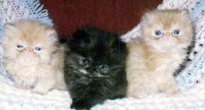 3 Kittens, 2 red persian cpc, and one tortoiseshell persian cpc