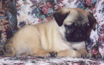 Fawn Colored Pug Puppy