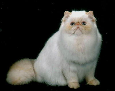 Beautiful Flame Point Himalayan Cat