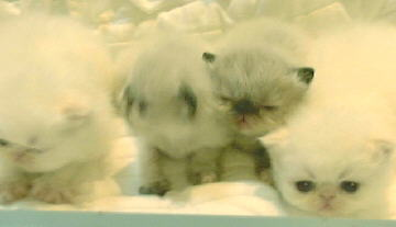 2 Cream Point Himalayan, and 2 Tortie Point Himalayan Kittens