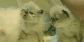 1 Cream Point Himalayan, and 2 Tortie Point Himalayan Kittens