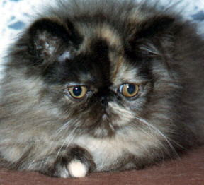 Beautiful Tortioseshell Persian Cat