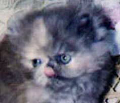 Adorable Blue Cream Persian CPC Kitten