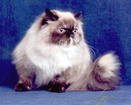 Kisses-A Tortie Point Himalayan Female