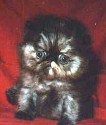 A Beautiful Tortoiseshell Persian CPC Kitten