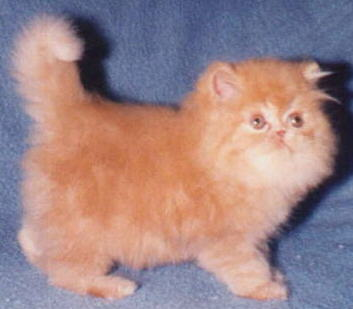Beautiful Red Persian Kitten