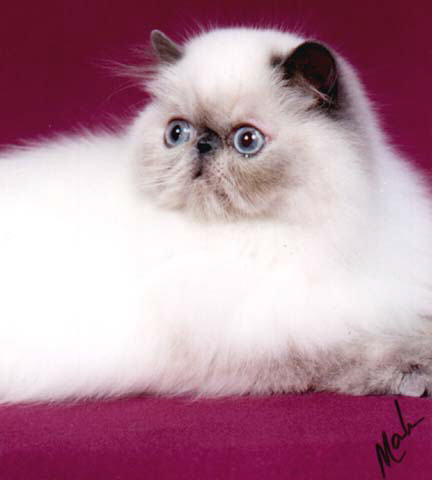 Beautiful Blue Cream Point Himalayan