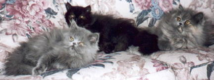 Blue, Blue Cream, Black Persians