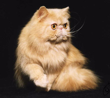 Beautiful Red Persian Cat