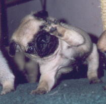 Fawn Colored Pug Puppy waving