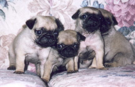 Fawn Colored Pug Puppies