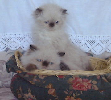 Seal Point Himalayan Kittens in a basket