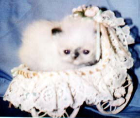 Cute Tortie Point Himalayan Kitten in a wicker baby carriage