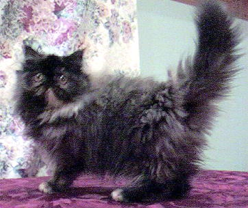 Beautiful Tortoiseshell Persian