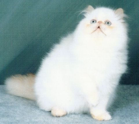 beautiful Flame Point Himalayan Persian Male