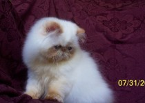 Flame Point Himalayan Kitten  Available NOW!