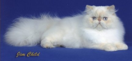 Beautiful Cream Point Himalayan
